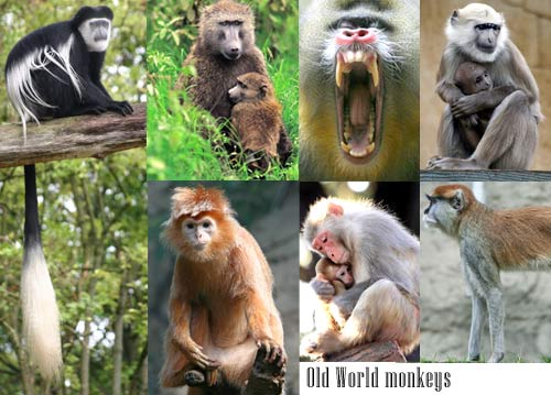 primate and new world monkeys New world monkeys alfred l rosenberger,smithsonian institution, washington dc, usa waltercarlhartwig,tourouniversitycollegeofosteopathicmedicine,vallejo,california,usa new world monkeys are the living (nonhuman) primates of south and central america.